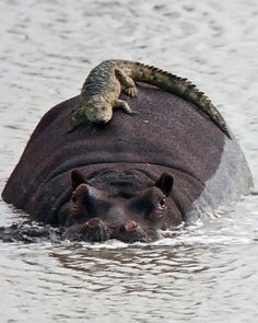 Hippo and hitch hiking crocodile