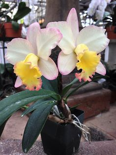 How to Care for Orchids So They Live & Grow Them Correctly So They Bloom: Learn How You Can Care for Your Orchids Quickly & Easily The Right Way Before You Kill Them Slowly & Painfully The Wrong Way Orchids Garden, Orchid Plants, Exotic Plants, All Plants, Exotic Flowers, Garden Plants, Beautiful Flowers, Orquideas Cymbidium, Cattleya Orchid