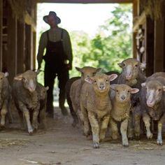 Slate Run Historical Farm - sheep herding!