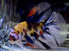The pictures are taken under an LED light to bring out the colors of the bettas more. Due to the marble gene, it is always within the realm of possibility for a betta to change color. Freshwater Aquarium, Aquarium Fish, Fish Aquariums, Betta Fish Care, Betta Tank, Siamese Fighting Fish, Halfmoon Betta, Blue Orchids, Live Fish
