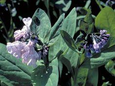 Mertensia virginica (Virginia bluebells).  Lovely blue flowers.