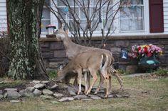 deer thieves photo
