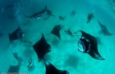 June Swooping gracefully through the water like giant bats, these huge manta rays gather to feed on microscopic plankton in Manifaru Bay in the Maldives. Tiny Fish, Undersea World, Animal Medicine, Classical Antiquity, Manta Ray, Oceans Of The World, Angel Fish, Killer Whales, Fotografia