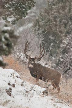 Trophy sizdd mule deer buck (Odocoileus hemionus)in a autumn snow in Colorado Mule Deer Buck, Mule Deer Hunting, Hunting Art, Whitetail Deer Pictures, Deer Photos, Deer Pics, Wildlife Photography, Animal Photography, Deer Wallpaper