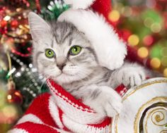 Animal Cat  Animal Kitten Christmas Bokeh Wallpaper