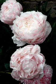 Pivoines arbustives My Flower, Flower Art, Flower Power, Pretty Flowers, Black Flowers, Rare Flowers, Pink Flowers, Begonia, Inspirational Photos