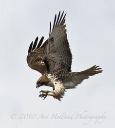 diving hawk - Google Search