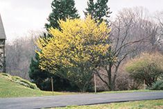 Click to view full-size photo of Arnold Promise Witchhazel (Hamamelis x intermedia 'Arnold Promise') at Chalet Nursery. This shrub/tree can grow in complete shade