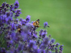 """Lavendel brengt niet alleen de """"provence"""" in je tuin, maar ook een heleboel vlinders!"""