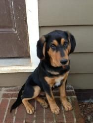 Roscoe is an adoptable Hound Dog in Charlotte, NC. Roscoe is a sweet, friendly and playful �puppy. �He is black and tan coonhound about 7 months old.��He was pulled from a gassing facility in rural NC...