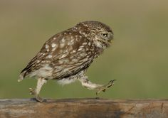 Photograph Little Owl Marching 2 by John Barlow on 500px