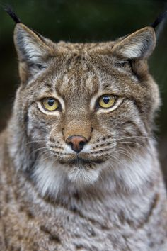 A nice lynx portrait Big Cats, Cats And Kittens, Cute Cats, Wild Animals Pictures, Animal Pictures, Lynx Du Canada, Lynx Boréal, Animals And Pets, Animals