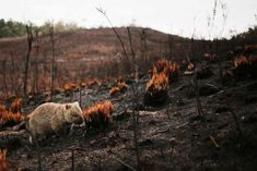 A wombat makes its way through the aftermath of a bushfire in the Tarkine in Tasmania, eating the seeds from the recently burnt tufts of grass. Common Wombat, Coral Castle, Terra Australis, Australia Animals, Australian Bush, Has Gone, Background Pictures, Tasmania, Predator