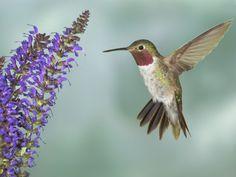 Broad-Tailed Hummingbird (Selasphorus Platycercus) Male Flying