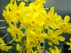 Narcissus jonquilla (Jonquil) is a bulbous perennial plant. It grows up to 12 inches (30 cm) tall and features 1-5 usually fragrant...