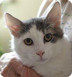 Carson | ♂ | black & white american shorthair | Pets Alive, Inc.   Lavenderpaw, Lavenderrise