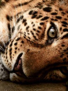 big cat soul