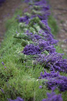 English lavender (Lavandula angustifolia 'Royal Velvet')  © 2009 David C. Phillips