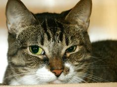 TO BE DESTROYED TUESDAY 10/9/12 NY* This 4 yr girl was brought to ACC because her owner was sick. In fact, he's disabled & doctor ordered to surrender Millie because he has severe breathing problems & uses an oxygen tank. I'm sure it must have been devastating for him to give up a loyal companion.This gorgeous tiger is friendly,calm,sniffs & rubs. Fmr owner said she greets strangers. If U can adopt or foster her, pls act quickly time is running out!