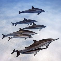 """Photo by @BrianSkerry A pod of spinner dolphins mother and calves socialize in the shallow waters off Oahu, Hawaii. Spinners are among the most social…"""