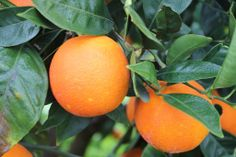 Sicilian Tarocco oranges