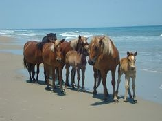 The Outer Banks Ponies...wild ponies that are ancestors of explorers....now protected by NC.  Beautiful to see swimming between the islands.
