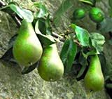 Conference, Duchesse d' Angouleme, and White Doyenne - All French varieties of pear which would look beautiful espaliered against a garden wall. Available from Raintree Nursery.