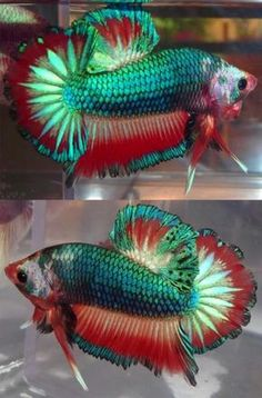 Some interesting betta fish facts. Betta fish are small fresh water fish that are part of the Osphronemidae family. Betta fish come in about 65 species too! Pretty Fish, Cool Fish, Beautiful Fish, Beautiful Sea Creatures, Animals Beautiful, Colorful Fish, Tropical Fish, Betta Aquarium, Betta Fish Care