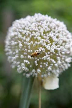 leave some leeks & onions in the garden to bloom for the bees