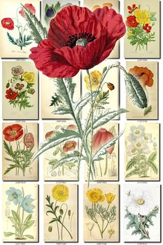 POPPIES-1 Collection of 100 vintage images botanical pictures High resolution digital download printable 300 dpi poppy papaver flowering           data-share-from=listing        >           <span class=etsy-icon
