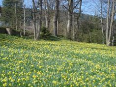 A chaque changement de saison, la nature se modifie et laisse apparaître de nouvelles merveilles…  http://www.gerardmer.vosges.co/fete-des-jonquilles/