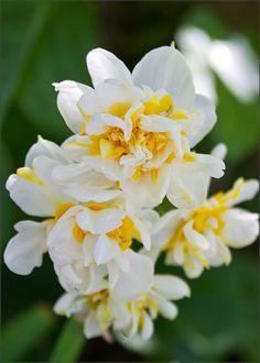 Double Narcissus 'Constantinople'