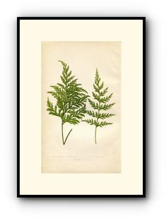 Edward Joseph Lowe Fern (Hymenophyllum Hirtellum & Demissum) Antique Botanical Print, 1860 Wood Block Engraving, Book Plate by TheOldMapShop on Etsy