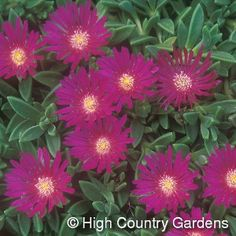 Delosperma ashtonii 'Blut'  Blut Ice Plant ~ intense magenta flower; once established, grow hot and dry to intensify flower color