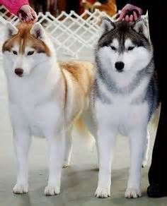 I will own a Huskey some day! Le Husky, Siberian Husky Dog, Husky Puppy, Baby Dogs, Pet Dogs, Dog Cat, Dogs And Puppies, Doggies, Beautiful Dogs