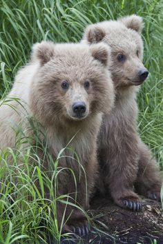— the-woj: Brown Bear Cubs — Alaska