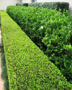Buxus japonica-low, Gardenia Florida-middle, Murraya paniculata-rear.