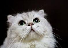 導讀:貓咪本身愛乾淨,所以會經常用舌頭舔自己,去除污垢,梳理毛髮。但是不能因此就把對身體的呵護全交給貓瞇自己。因為毛再軟,也有舌頭舔不到的地方,特別是長毛的品種,單靠貓瞇自己很難保持毛的潔淨,所以主人的幫助是必不可少的。