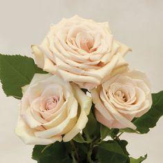 Sahara roses, my favorite kind.