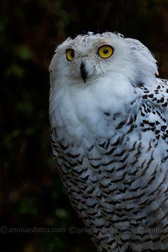 Coruja das Neves | Fotos de Aves Nocturnas - Foto 7110