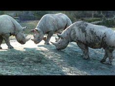 Three Rhino Males Fighting in Zoo. Zoo 2, Zoo Project, Hippopotamus, Wild Animals, Rage, Black, Black People, Wild Ones