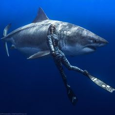 Ocean Ramsey swimming in open water with Big Blue, possibly the largest Great White Shark in the world Under The Water, Under The Sea, Shark Pictures, Shark Photos, Underwater Creatures, Ocean Creatures, Shark S, Shark Week, Orcas