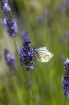 butterfly on lavender by Uta Naumann on 500px