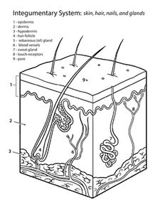"""Middle School Life Science Worksheets: Inside-Out Anatomy: The Integumentary System Learn about the integumentary system, which is really just a fancy phrase for """"skin"""", in this worksheet. Science Biology, Teaching Science, Science Education, Life Science, Science Cells, Biology Lessons, Science Notes, Forensic Science, Science Lessons"""