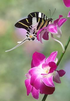 Beautiful Swordtail Butterfly..