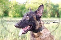 Buy Padded Leather Dog Collar for heavy-duty dog training. Dog Training Equipment, Leash Training, Dog Harness, Dog Leash, Doberman Training, Every Dog Breed, Excited Dog, Dog Muzzle, Belgian Malinois