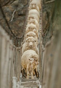 Sheepies ""