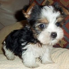 All about the sprightly Yorkshire Terrier puppy size . - All about sprightly Yorkshire Terrier puppy size – - Biewer Yorkie, Yorkie Puppy, Cute Puppies, Cute Dogs, Dogs And Puppies, Doggies, Spaniel Puppies, Yorkshire Terriers, Baby Animals