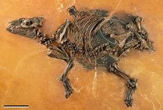 Eurohippus foetus fossil from the Messel Shale.