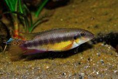 Pelvicachromis humilis (BOULENGER, 1916) | NVC web